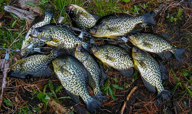 Crappie in Spring