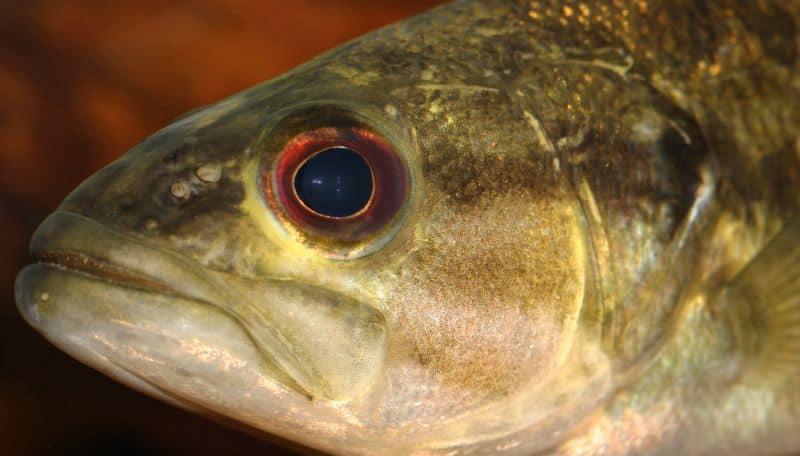 Guadalupe bass Micropterus treculii